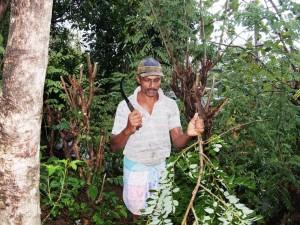 A farmer collect Glidiseeriya leaves for 38 goats